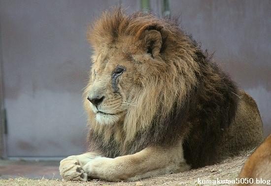 ライオン_504