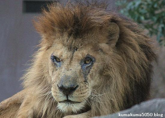 ライオン_502