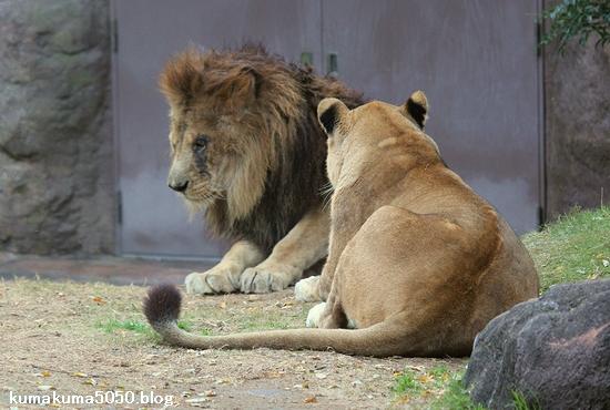 ライオン_503