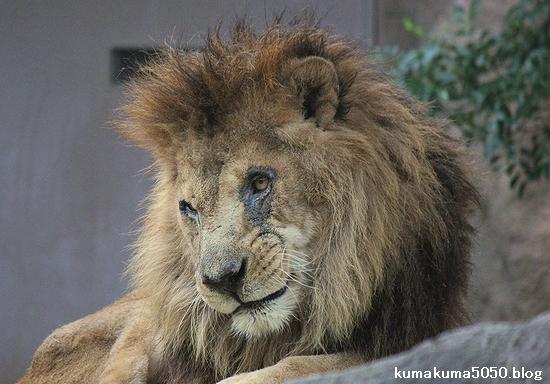 ライオン_501