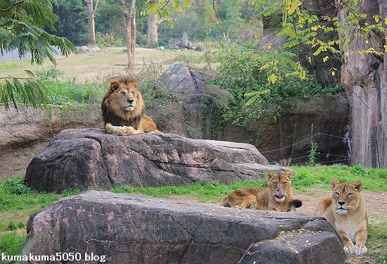 ライオン_508