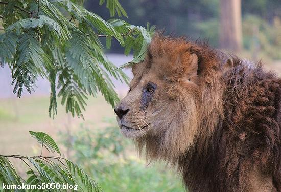 ライオン_507