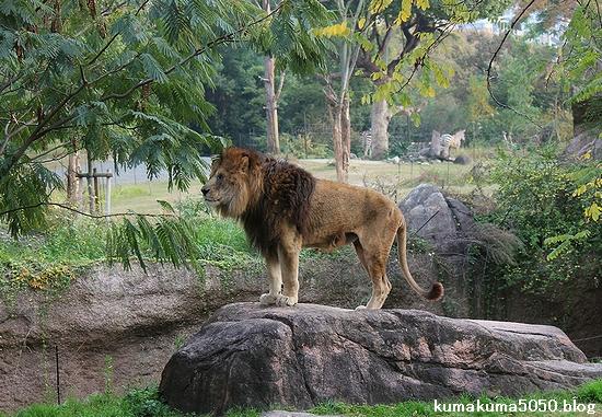 ライオン_506