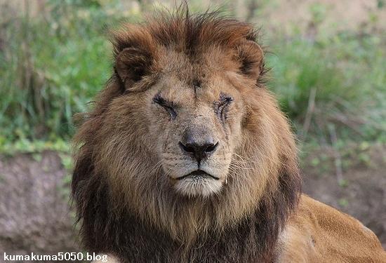 ライオン_511