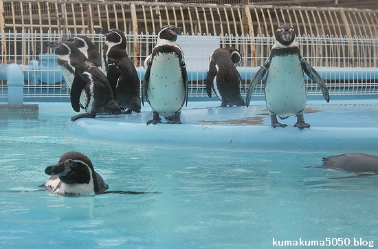 フンボルトペンギン_46