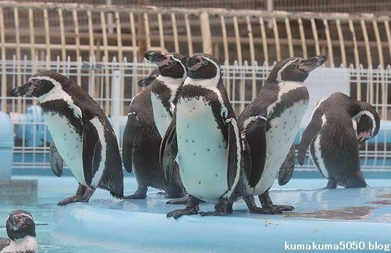 フンボルトペンギン_45