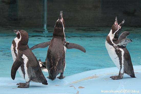 フンボルトペンギン_42
