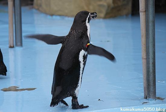 フンボルトペンギン_43