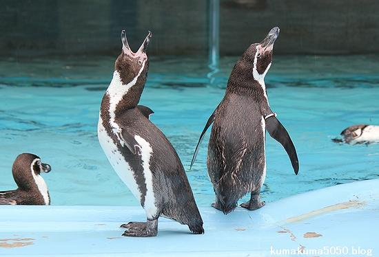 フンボルトペンギン_41