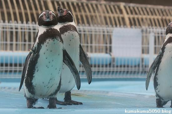 フンボルトペンギン_47