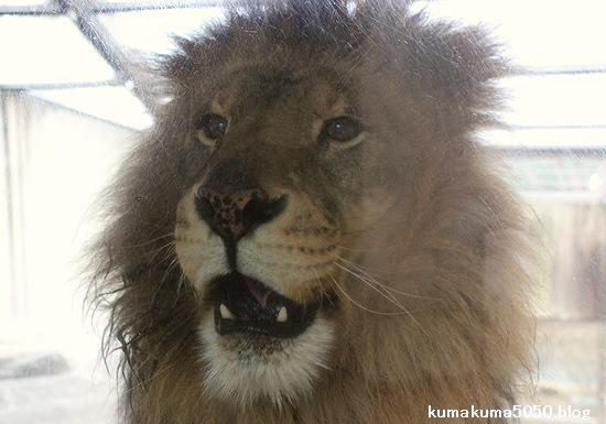 ライオン_519