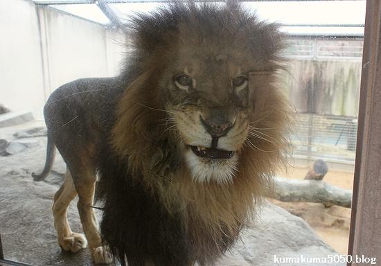 ライオン_517