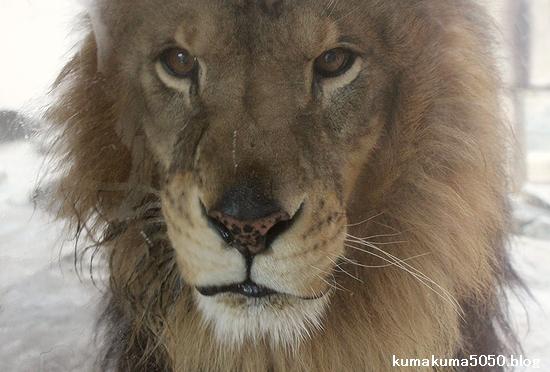 ライオン_523