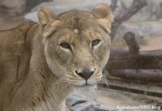 ライオン_534