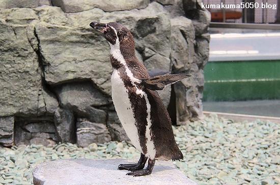 フンボルトペンギン_50