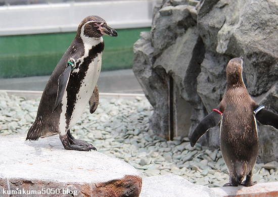 フンボルトペンギン_49