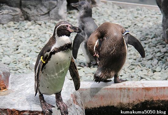 フンボルトペンギン_54