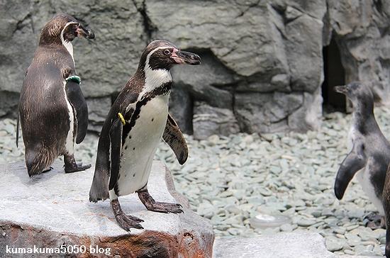 フンボルトペンギン_52