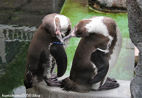 フンボルトペンギン_60