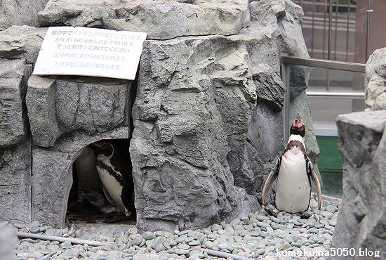 フンボルトペンギン_57