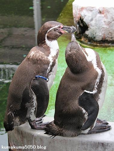 フンボルトペンギン_62