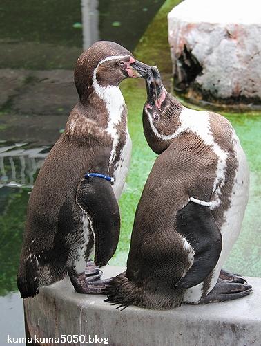 フンボルトペンギン_61