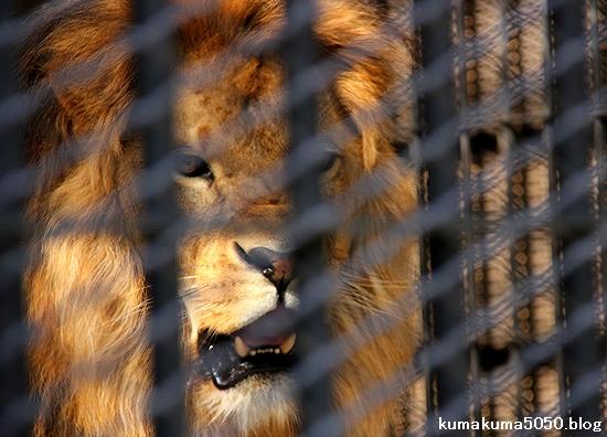 ライオン_537