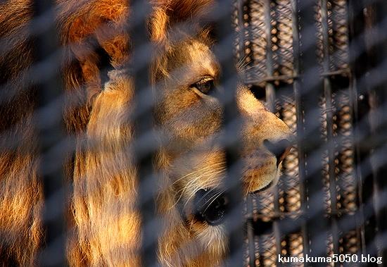 ライオン_536