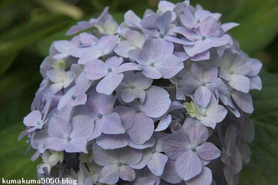 紫陽花_5