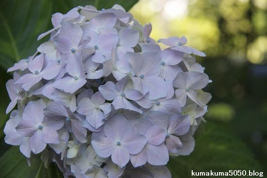 紫陽花_4