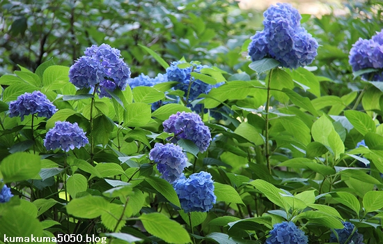 紫陽花_2