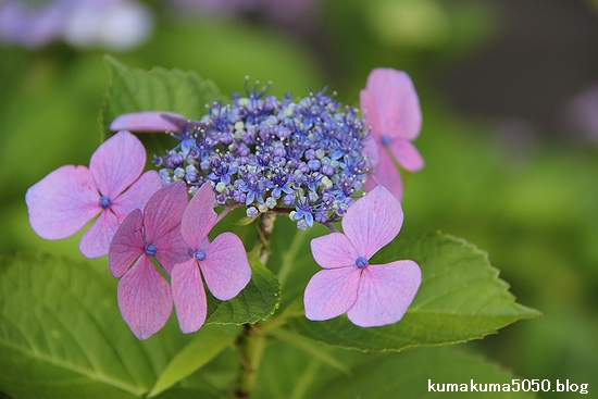 紫陽花_12