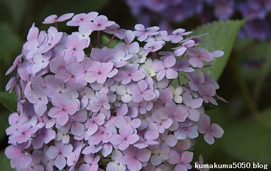 紫陽花_15
