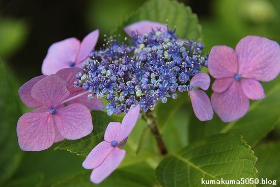 紫陽花_13