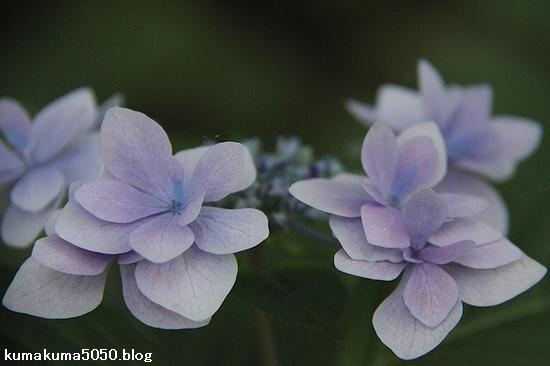 紫陽花_18