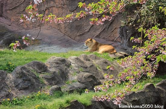ライオン_549