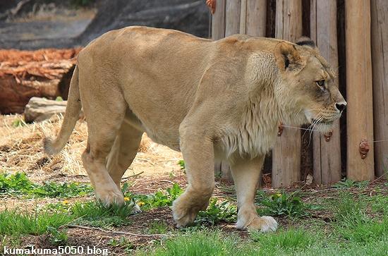 ライオン_547