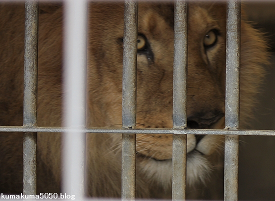 ライオン_553