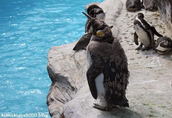 キングペンギン_14