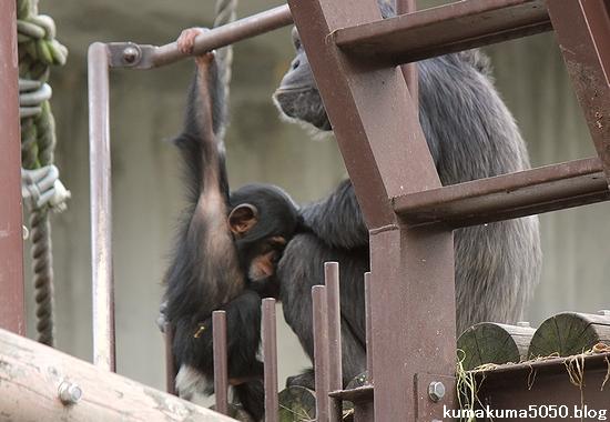 チンパンジー_6