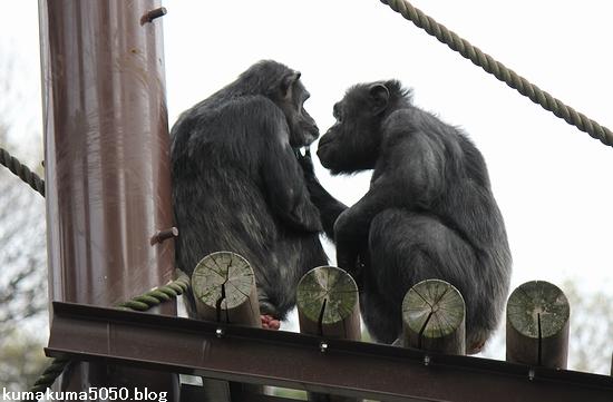 チンパンジー_7