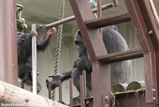 チンパンジー_2
