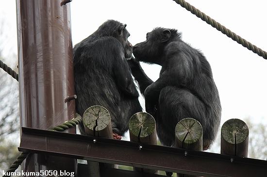 チンパンジー_8