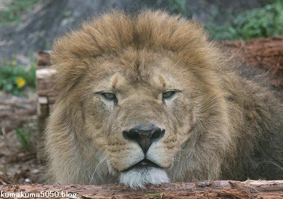 ライオン_560