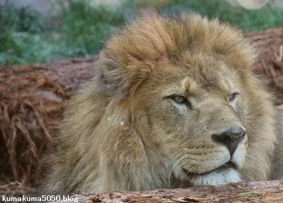 ライオン_559