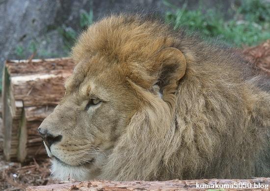 ライオン_558