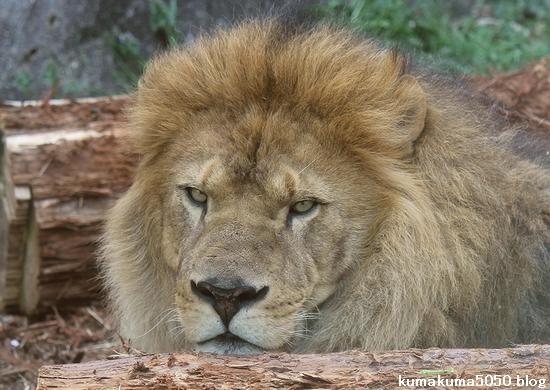 ライオン_557