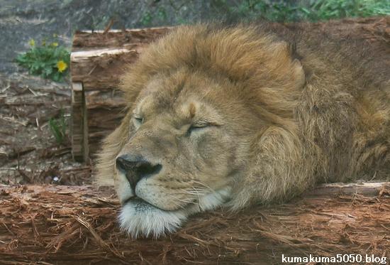 ライオン_556