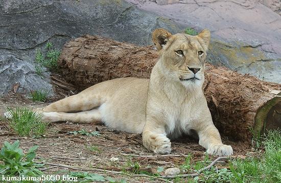 ライオン_563