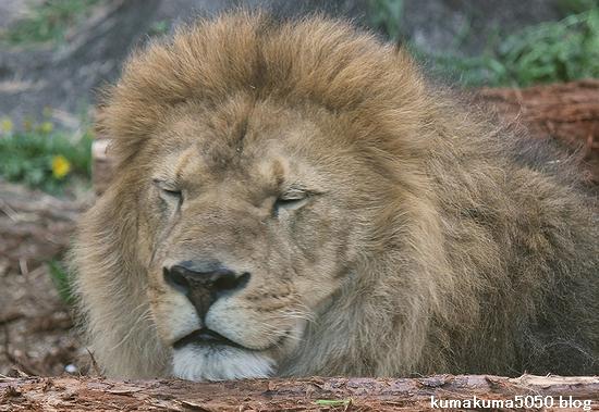 ライオン_561